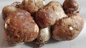 Le champignon italien Porcino est le vrai images stock