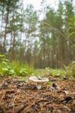 Le champignon parmi les aiguilles de pin Photographie stock libre de droits
