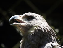 Le chant Eagle photo libre de droits