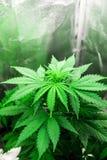 Le chanvre élèvent l'opération Affaires de marijuana Développez-vous élèvent dedans la tente de boîte Plantation du cannabis Tens image stock