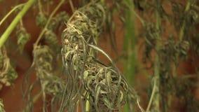 Le chanvre médicinal de cannabis moissonné a séché des graines de qualité pour la production des onguents et les écrème développé