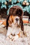 Le chapeau de port de chien drôle de briquet avec l'oreille s'agite près de l'arbre de Cristmas Image libre de droits