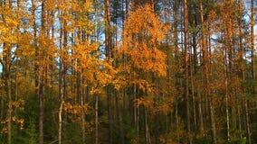 Le charme de l'automne d'or banque de vidéos