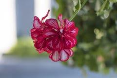 Le charme des fleurs, la beauté Image libre de droits