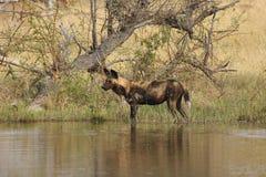 Le chasseur africain éventuel images libres de droits