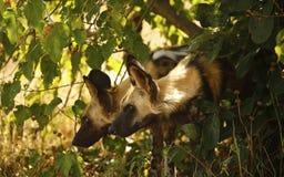 Le chasseur africain éventuel Photos libres de droits