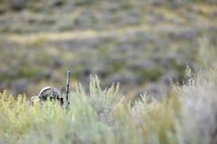 Le chasseur de coyote camouflé derrière des buissons et frottent Image stock