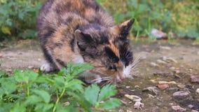 Le chat égaré d'écaille mange quelque chose dehors clips vidéos