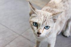 Le chat égaré gris avec les yeux bleu-clair regardent directement Photographie stock