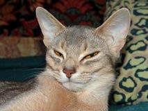 Le chat abyssinien somnolent se trouve sur un lit photographie stock
