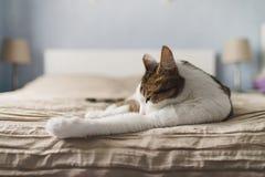 Le chat adulte barré se trouve sur le lit et lèche les pattes Un beau chat avec les yeux jaunes léchant le pied pour le nettoyage images libres de droits