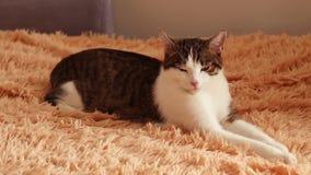 Le chat adulte gris blanc rayé se trouve sur le lit et clignote, s'endort banque de vidéos