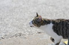 le chat affamé sans abri blanc gris demande la nourriture Yeux multicolores, un bleu jaune et deuxième images stock