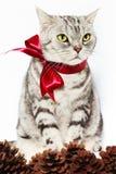 Le chat américain d'argent de shorthair a attaché l'arc rouge avec des cônes de pin Images libres de droits