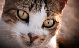 Le chat animal d'animal familier Photographie stock