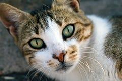 Le chat animal d'animal familier Photo libre de droits