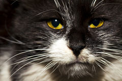 Le chat animal d'animal familier Photographie stock libre de droits