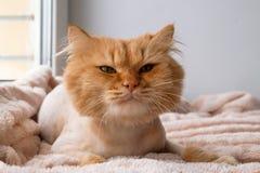 Le chat aux cheveux longs de gingembre drôle toiletté avec la coupe de cheveux se trouve sous une couverture rose molle images libres de droits