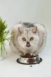 Le chat avec de beaux yeux verts mange, léchant Photo stock