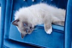 Le chat avec des œil bleu se trouve sur la présidence bleue Photographie stock libre de droits