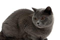 chat blanc gris avec les yeux jaunes photo stock image 42235673. Black Bedroom Furniture Sets. Home Design Ideas