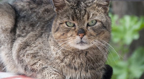 Le chat avec les yeux verts me regarde Photo stock