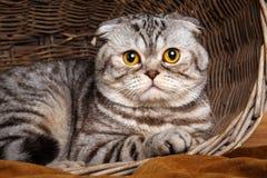 Le chat bicolore de rayures avec le pli jaune d'écossais de yeux se repose dans un panier en bois images stock
