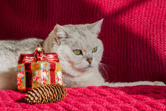 Le chat blanc adulte avec un rouge a tricoté des décorations de Noël de fond et des cônes de pin Photo stock