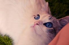 Le chat blanc avec des yeux bleus se trouve et examine la distance Photographie stock libre de droits