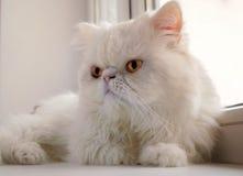 Le chat blanc de la race persane se trouve à une fenêtre Photographie stock