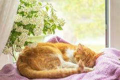 le chat blanc rouge dort sur le rebord de fenêtre Photos libres de droits
