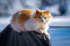 Le chat blanc-rouge pelucheux se dore dans le soleil lumineux et chaud photo stock