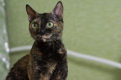 Le chat boucl? de charme Ural Rex se repose sur le lit et les regards avec de grands yeux verts Tortue noire de couleur photos stock