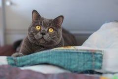 Le chat britannique gris de shorthair se trouve sur le lit Photo stock