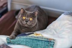 Le chat britannique gris de shorthair se trouve sur le lit Photos stock