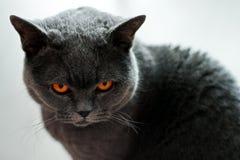 Le chat britannique regarde fâché vous photos stock