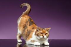 Le chat britannique rouge a pris la queue comme le symbole de question Images libres de droits