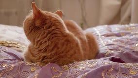 Le chat britannique rouge se repose sur le lit et tourne sa tête clips vidéos