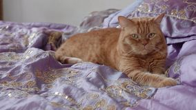Le chat britannique rouge se trouve sur des bes et des regards de côté banque de vidéos