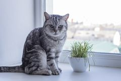 Le chat britannique se repose sur la fen?tre et veut manger l'herbe photos libres de droits
