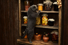 Le chat britannique se repose sur la table sur le fond du support de vintage avec des banques Photos stock