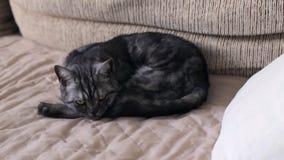 Le chat britannique somnole sur le divan clips vidéos