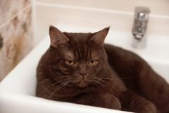 Le chat brun Écossais-droit de chocolat se situe dans la cuvette du lavabo Photo libre de droits