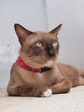 Le chat brun mignon fixent et regardant fixement à quelque chose Image libre de droits