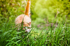 Le chat chasse dans l'herbe verte Photos stock