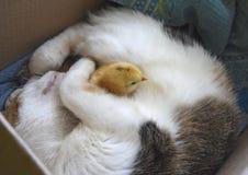 Le chat chauffe le poulet Images stock