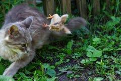 Le chat chauffe le poulet Le chat, prend un poulet pour son petit animal Images stock