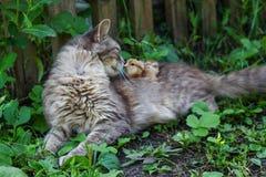 Le chat chauffe le poulet Le chat, prend un poulet pour son petit animal Photos stock