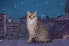 Le chat d'or britannique attend la jeune mariée sur le toit en m Photographie stock libre de droits
