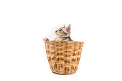 Le chat dans le panier, regard dehors, a isolé le fond blanc Images libres de droits